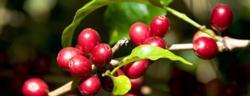 印度季风马拉巴尔 AA咖啡