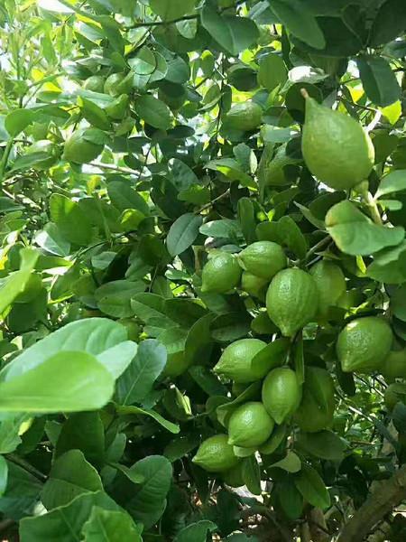 广东香水柠檬果园  香水柠檬